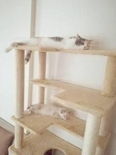 猫,動物,屋内,2匹,仲良し,ペット,寝顔,寝る,子猫,人物,キャットタワー,ポーズ,三毛猫,マンチカン,シンクロ,多頭飼い,ネコ,同じ,相性,室内飼い,ダイリュートキャリコ