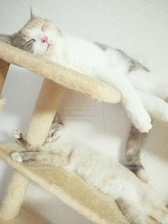 猫,動物,屋内,2匹,ペット,寝顔,寝る,子猫,人物,キャットタワー,睡眠,三毛猫,マンチカン,多頭飼い,ネコ,相性,室内飼い,ダイリュートキャリコ