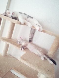 猫,動物,屋内,2匹,仲良し,ペット,寝顔,寝る,子猫,人物,キャットタワー,三毛猫,マンチカン,多頭飼い,ネコ,相性,室内飼い,ダイリュートキャリコ