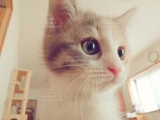 猫,動物,屋内,かわいい,ペット,子猫,人物,顔,アップ,目,1匹,見つめる,三毛猫,マンチカン,クローズアップ,ネコ,室内飼い,ネコ科の動物,ダイリュートキャリコ