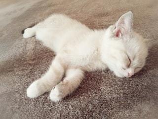 猫,動物,屋内,白,かわいい,昼寝,ペット,寝顔,寝る,子猫,人物,リラックス,癒し,睡眠,メス,マンチカン,癒やし,飼い猫,ネコ,無防備,室内飼い,ネコ科の動物