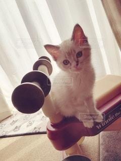 猫,動物,屋内,ペット,子猫,人物,癒し,座る,1匹,メス,マンチカン,三輪車,癒やし,飼い猫,ネコ,室内飼い,情操教育