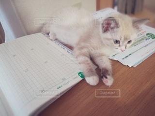 猫,動物,屋内,白,テーブル,ペット,机,子猫,人物,癒し,宿題,1匹,メス,マンチカン,癒やし,飼い猫,ネコ,邪魔,室内飼い,情操教育