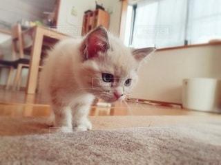 猫,動物,屋内,白,ペット,床,子猫,人物,癒し,1匹,メス,マンチカン,青い目,癒やし,カーペット,飼い猫,ネコ,室内飼い,ネコ科の動物