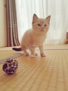 猫,動物,屋内,かわいい,ペット,子猫,人物,和室,畳,1匹,メス,マンチカン,ネコ,室内飼い