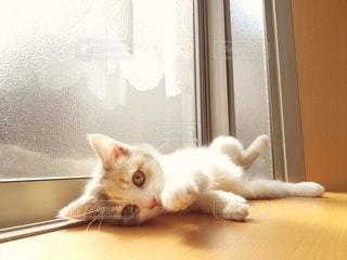 猫,動物,屋内,オレンジ,ペット,子猫,人物,癒し,窓際,ひなたぼっこ,三毛猫,マンチカン,癒やし,出窓,ネコ,室内飼い,ダイリュートキャリコ,情操教育