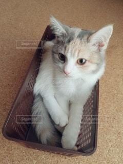 箱の中に座っている茶色と白の猫の写真・画像素材[2973234]