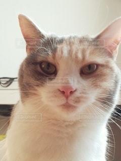 カメラを見ている猫のクローズアップの写真・画像素材[2980074]