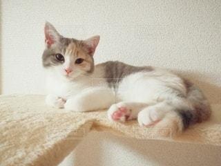 キャットタワーに横たわるオレンジと白の猫の写真・画像素材[2981926]