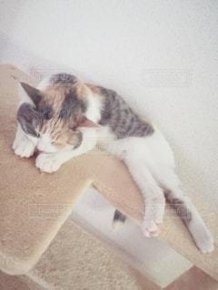 キャットタワーに横たわる猫の写真・画像素材[2982901]