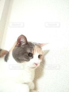 キャットタワーに座っている猫の写真・画像素材[2983115]