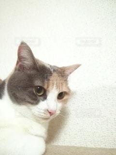 キャットタワーに座っている猫の写真・画像素材[2983118]