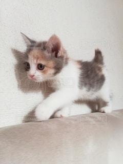 ソファの背もたれを歩く子猫の写真・画像素材[2985533]