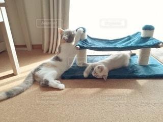 キャットタワーで遊ぶ2匹の猫の写真・画像素材[2987261]