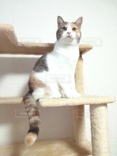 キャットタワーに座っている猫の写真・画像素材[2997592]