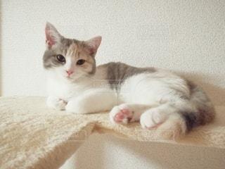 キャットタワーに横たわる三毛猫の写真・画像素材[3001996]