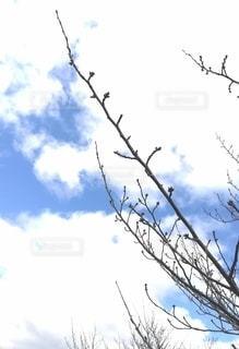 桜の枝の写真・画像素材[3009495]