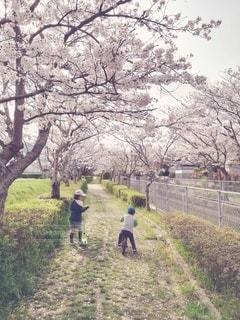 桜並木を歩く姉弟の写真・画像素材[3033746]