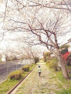 子ども,1人,空,公園,花,春,桜,屋外,草原,後ろ姿,桜並木,草,樹木,新緑,草木,春休み,日中