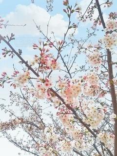 空,花,春,桜,木,花見,樹木,お花見,イベント,五分咲き,草木,春休み,ブロッサム,七分咲き