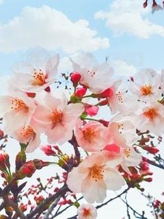 空,花,春,桜,木,花束,花見,お花見,イベント,草木,ブルーム,ブロッサム