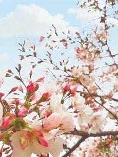 空,花,春,桜,木,花見,樹木,お花見,イベント,五分咲き,草木,春休み,ブルーム,ブロッサム,七分咲き