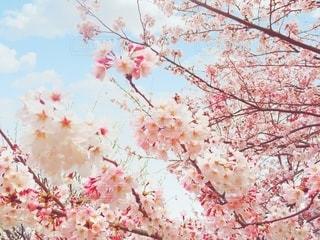桜の写真・画像素材[3064631]