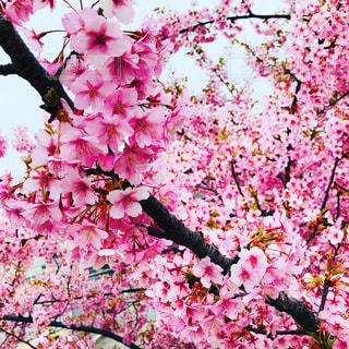 花,桜,草木