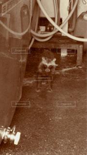 溢れたミルクを求めて野生のエゾタヌキの写真・画像素材[2918890]