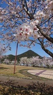 空,公園,花,春,桜,木,屋外,ピンク,山,樹木,芝,草木,桜の花,さくら