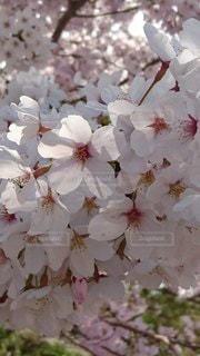 花,春,桜,ピンク,満開,草木,桜の花,さくら