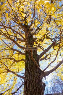 大きな銀杏の樹の写真・画像素材[3738115]
