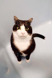 猫,動物,ペット,座る,見つめる,浴槽,カメラ目線,ハチワレ,ネコ,猫の日,2月22日