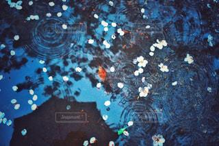 雨の日の桜の写真・画像素材[3058081]