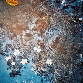 自然,花,桜,雨,水たまり,水面,花びら,切ない