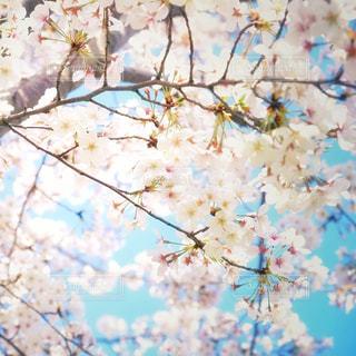 青い空とサクラの写真・画像素材[3079722]