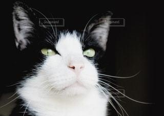 美しい猫の写真・画像素材[3359779]