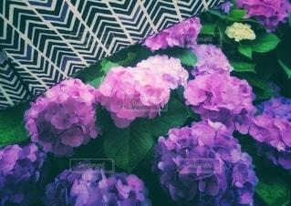 傘と紫陽花の写真・画像素材[3374486]