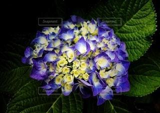 紫陽花の写真・画像素材[3374531]