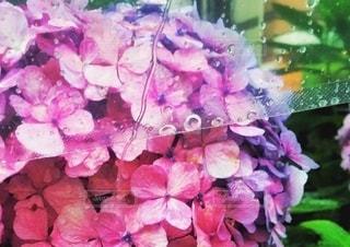 雨の日の紫陽花の写真・画像素材[3392390]