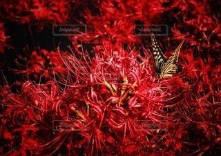 彼岸花とアゲハ蝶の写真・画像素材[3712529]