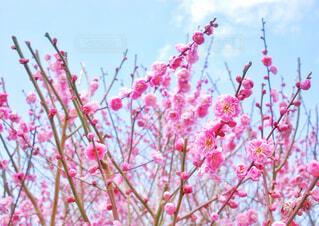 梅のピンクと空の青の写真・画像素材[4231561]