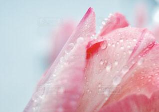 雨上がりのチューリップの写真・画像素材[4278782]