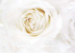 白い薔薇の写真・画像素材[4313240]