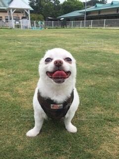 ドッグランの芝生で笑いすぎて耳がないチワワの写真・画像素材[4126877]