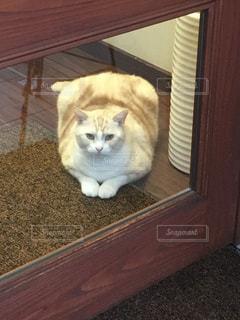 猫,動物,屋内,ペット,床,人物,可愛い,おすわり,木目,看板猫,ネコ,おデブ