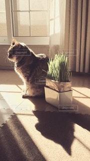 猫,動物,ペット,人物,観葉植物,ネコ,猫草
