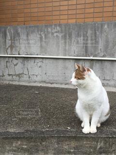 猫,動物,屋外,白,ペット,人物,座る,コンクリート,ネコ