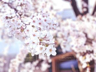 風景,花,春,桜,木,ピンク,植物,かわいい,季節,花見,景色,サクラ,樹木,お花見,cherry,3月,桜の花,Sakura,やさしい,4月,さくら,ブロッサム,やわらかい