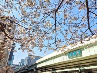 自然,空,春,桜,橋,屋外,ピンク,綺麗,鮮やか,樹木,都会,日本橋